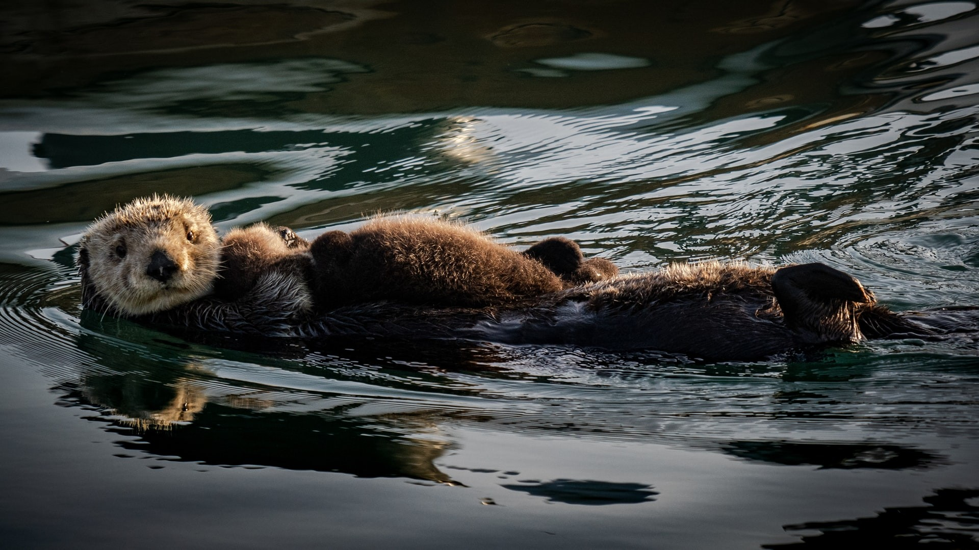 A sea otter plays in the water.