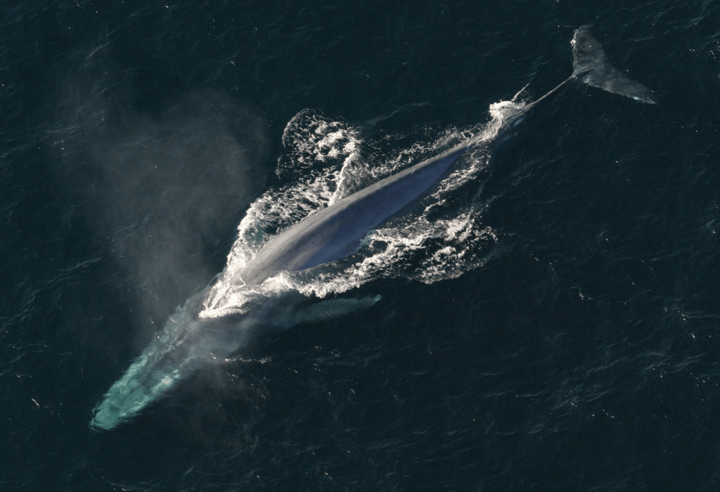 Blue whale swimming in the ocean.