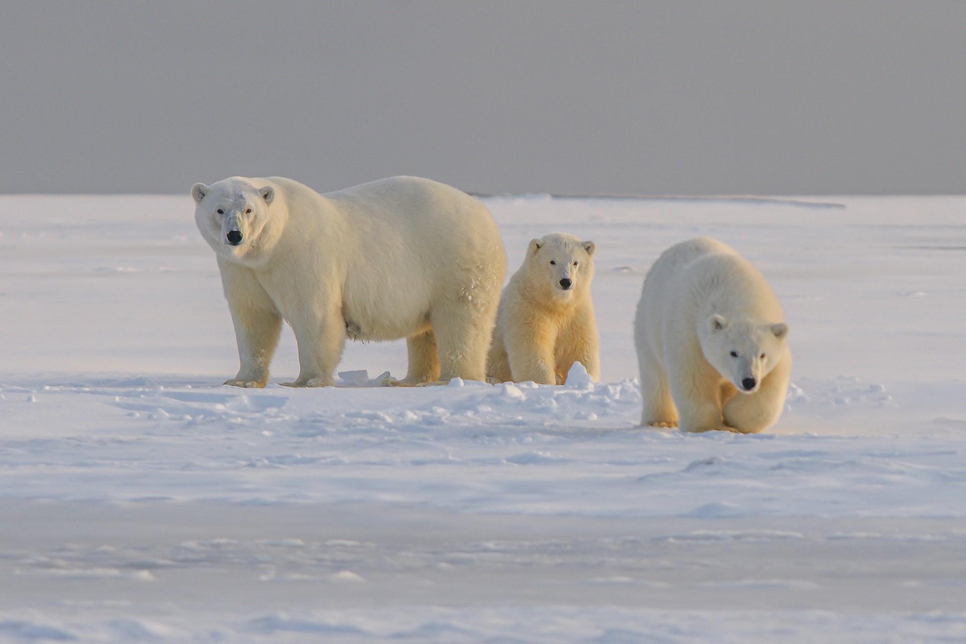 Three polar bears walk across the snow in the Arctic tundra.
