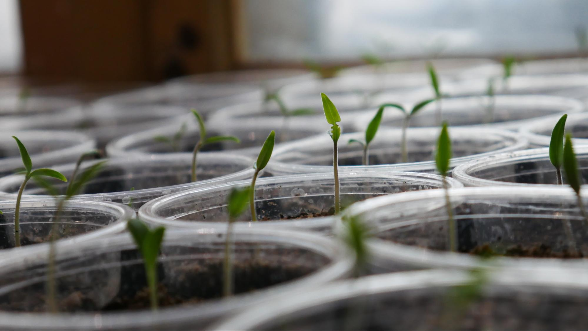 Seedlings grow in jars as part of an earth day activity.