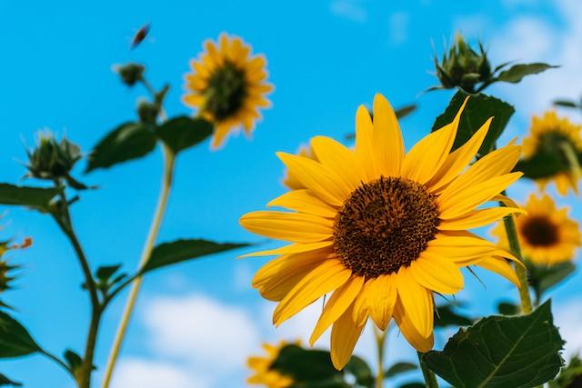 Photo of sunflowers by Brett Sayles